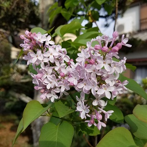 18-4-6_Lilac.jpg